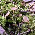 Цібор аментацея (ciboria amentacea)