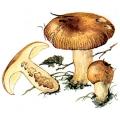 Розмовляючі назви грибів