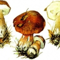 Білі гриби
