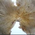 Хижі гриби використовують ті ж прийоми, що і імунітет людини