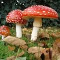 Отруйні та неїстівні гриби