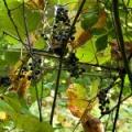 Японський виноград