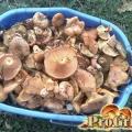Як правильно готувати рядовки: обробка, соління та маринування грибів