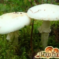 Підступний і феноменально отруйний гриб: опис блідої поганки