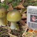 Лікування отруєння блідою поганкою і цілющі властивості гриба
