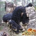 Лісовий доктор на варті здоров'я: настої, чаї та відвари з губки