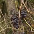 Лісовий виноград