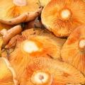Кращі грибні місця криму: збираємо рижиків в рибальському і маслюків в Строганівці