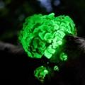 Багато гриби можуть випромінювати видиме світло