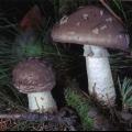 Мухомор товстий (amanita excelsa)