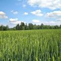 Народні прикмети: колоситься жито - багато грибів знайдеш