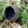Недалеко від Вільнюса виріс рідкісний гриб