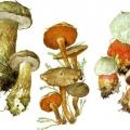 Неїстівні трубчасті гриби