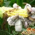 Паразити, які здатні знищити врожай зернових культур: правда про сажкових грибах