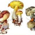 Напівбілі гриби