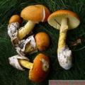 Рідкісні гриби показали в санкт-Петербурзі
