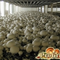 Рентабельний бізнес: переваги вирощування печериць в брикетах