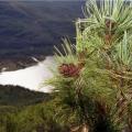 Збір кедрових горіхів в Кемеровській області відкриють в кінці серпня