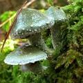 Тройшлінг ярь-медянковий (psilocybe aeruginosa)