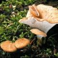 Трутовик мінливий (polyporus varius)