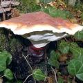Трутовик лакований (ganoderma lucidum)