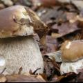 У іспанію за грибами