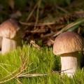 В Югрі за сезон на зборі ягід і грибів можна заробити 50-60 тисяч рублів