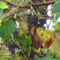 Виноград амурський