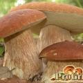 Смачно і корисно: незаперечна цінність білих грибів