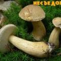 Жовчний гриб