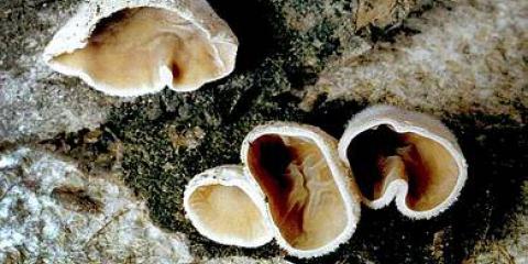 Аурікуларіопсіс уховідная (auriculariopsis ampla)