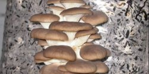 Бізнес на гливу. в тюменської області вирощують гриби