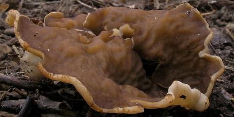 Блюдцевік жілковатий (disciotis venosa)