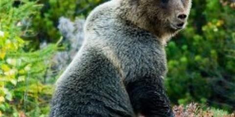 Блогери попереджають, під питером в лісах багато ведмедів