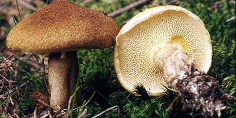 Болетін полоножковий (boletinus cavipes)