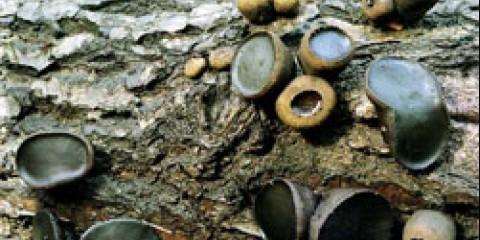 Булгарія інквінанс (bulgaria inquinans)