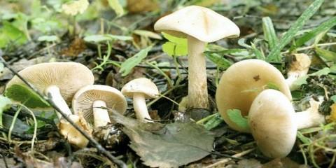 Чешуйчатка клейка (pholiota lenta)