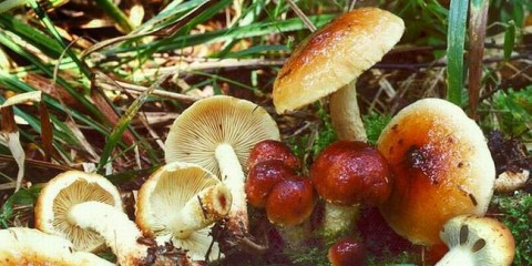 Чешуйчатка слизова (pholiota lubrica)