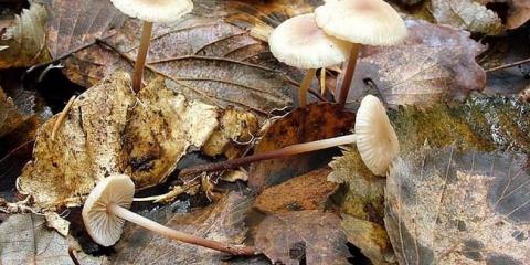 Чесночнік дубовий (marasmius prasiosmus)