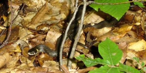 Дії при укусі змії