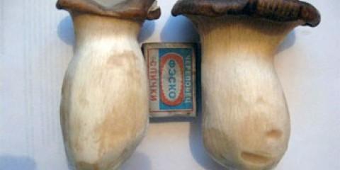 Для амурчан виростять екзотичні гриби