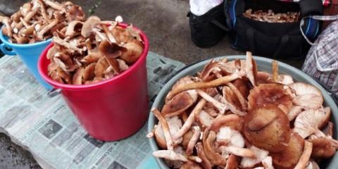 Дощі позбавили жителів Кузбасу великого врожаю грибів