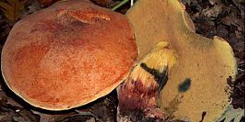 Дубовик келе (boletus queletii)
