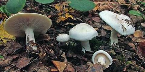 ? Клітоцибе димчата форма біла (clitocybe robusta)?