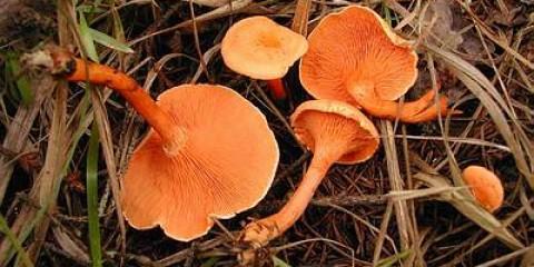 Говорушка помаранчева (clitocybe aurantiaca)