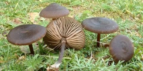 Ентолома шовковиста (entoloma sericeum)