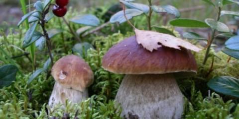 Кіров: грибів буде мало, а от ягоди порадують