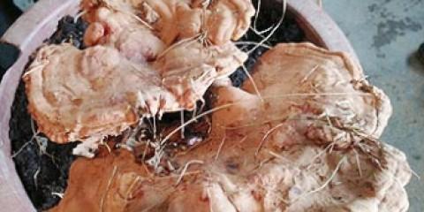 Китайський селянин знайшов рідкісний лікарський гриб