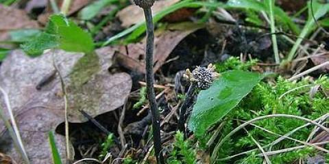 Кордицепс сіро-попелястий (cordyceps entomorrhiza)