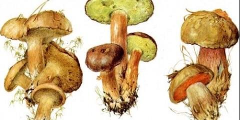 Козляк, польський гриб, дубовик